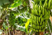 Grüne Bananenstauden Auf Eine...