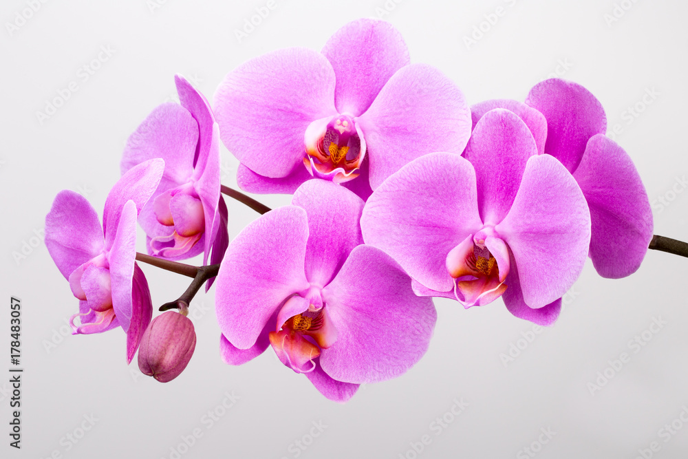 Pink orchid isolated on white background. Closeup.