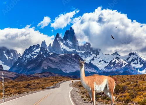 Lama guanaco in Patagonian pampas