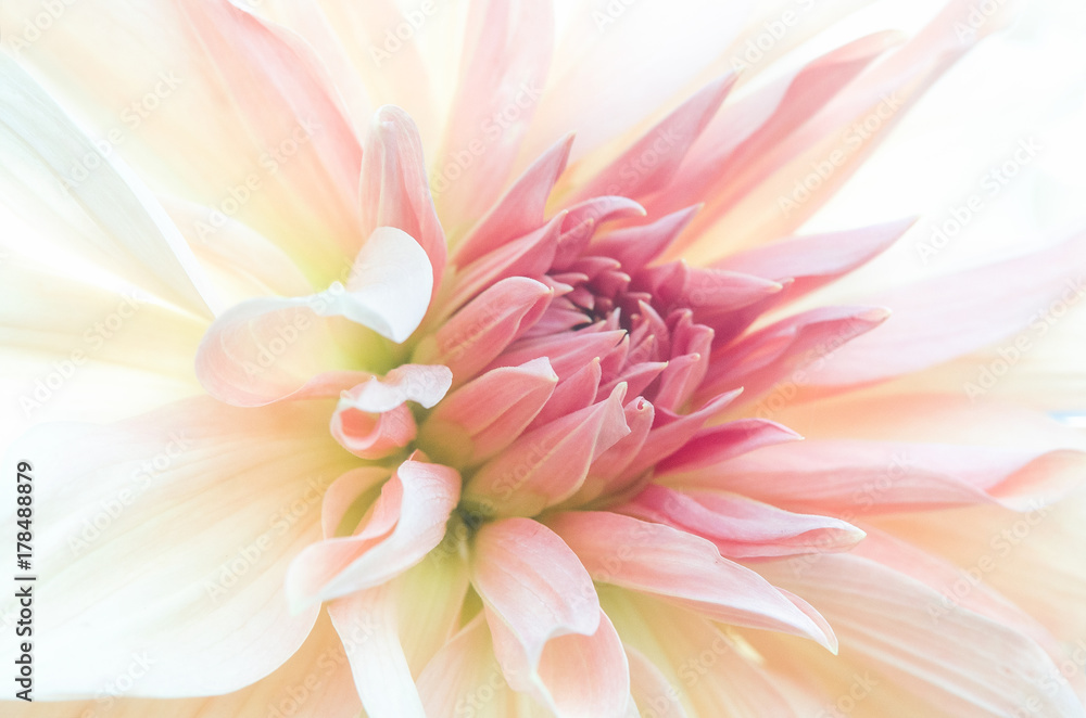 Fototapeta Zbliżenie na drobne różowe płatki gladioli, subtelne rozmycie.