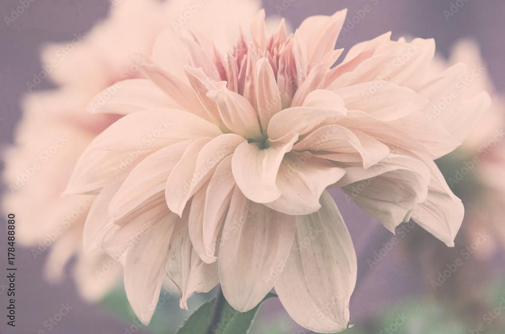 Fototapeta Piękny duży kwiat dalii, subtelne różowe płatki, ujęcie makro.  - obraz na płótnie