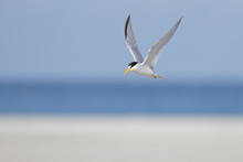 Least Tern Flying Above The Breeding Colony On The Beach In Florida