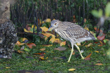 Yellow Crowned Night Heron Juvenile Wading Through Sea Weed And Mangrove In Florida