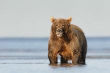 Coastal Brown Bear Standing In...