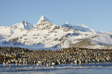 King Penguin Colony With Mount...