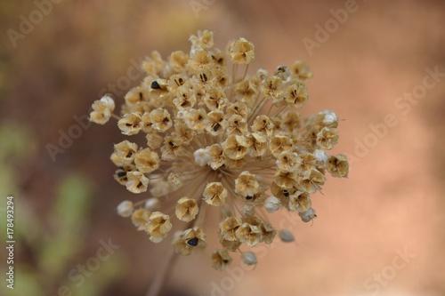Fotografie, Obraz  mature allium flowers  with seeds