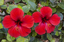 Two Flowers Of The Red Hibiscus