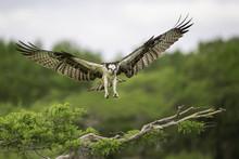 Osprey Landing On A Cypress Tree Branch In Florida