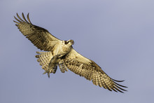 Osprey Flying In The Sky With A Fish In Its Talons In Florida