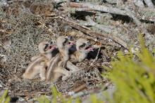 Osprey Chicks Three Days Old I...