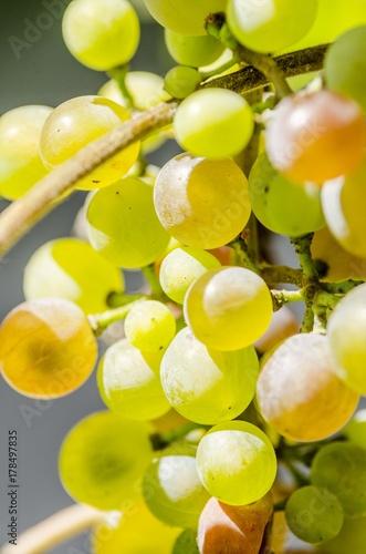 Plakat winogrona