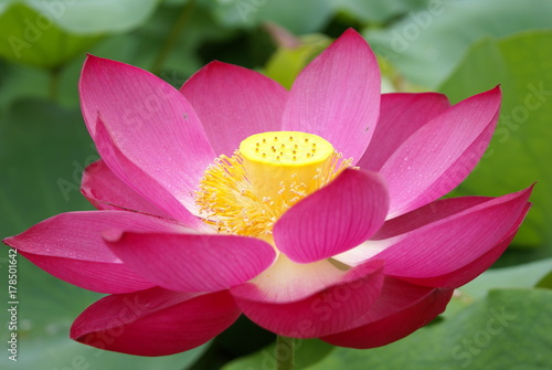 Lotus flower buy this stock photo and explore similar images at lotus flower mightylinksfo