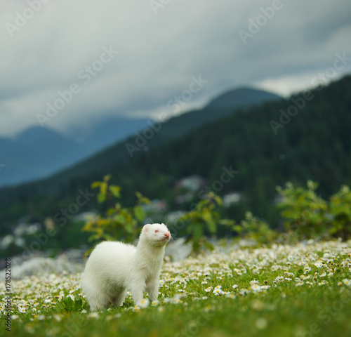 Fotografie, Obraz  Albino Ferret outdoor portrait standing in field of spring flowers surrounded by