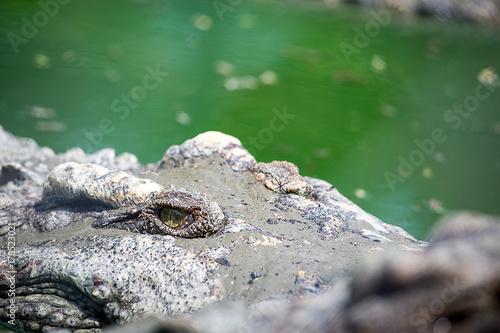 Plakat oko krokodyla pływak w bagnie w tropikalnym lesie