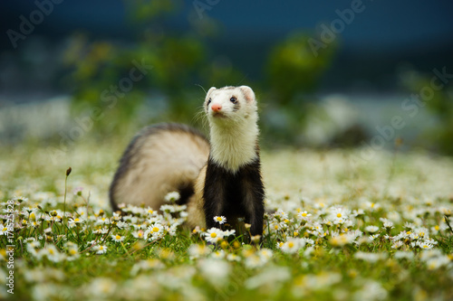 Valokuva  Ferret outdoor portrait in grass and flowers
