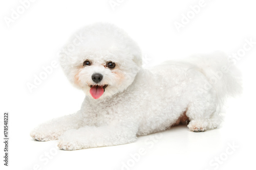Obraz na plátne beautiful bichon frisee dog