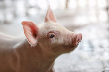 Piglet Waiting Feed In The Farm. Pig Indoor On A Farm Yard In Thailand. Swine In The Stall. Close Up Eyes And Blur. Portrait Animal.