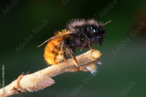 Wild solitary bee Osmia cornuta