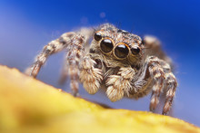 Jumping Spider Close Up. Macro...