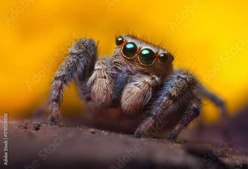 Foto Jumping spider close up. Macro photography. Portrait of spider