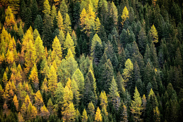 Fototapeta Las Fir trees forest in autumn
