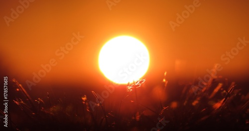 Fotobehang Baksteen early sunrise on a summer day, red sky and white sun, detail on grass standing in front of the sun