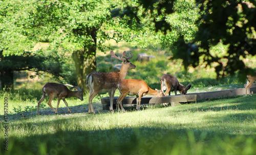 Fototapeta herd of mouflons and fallow deer male with spotted fur in deer park in summer, Hukvaldy, Czech Republic obraz