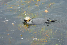 A Wild Sea Otter Floating In Polluted Water In The Pacific Ocean In Monterey, California
