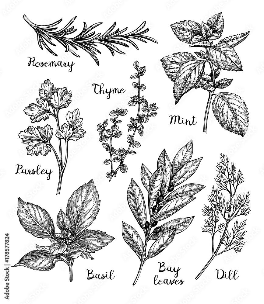 Fototapety, obrazy: Ink sketch of herbs