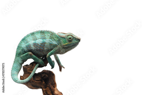 Spoed Foto op Canvas Kameleon Blue Panther chameleon isolated on white background