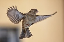 Female Sparrow In Flight