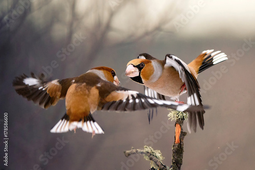 two Hawfinch (Coccothraustes coccothraustes) fight Fototapet