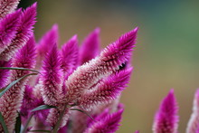 Pink-purple Flower With Bee