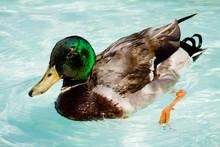 Male Mallard Duck Swimming In ...