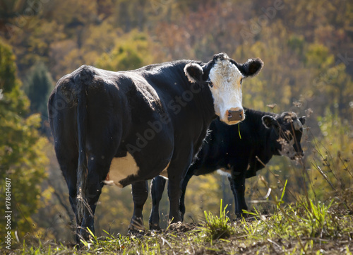 Black Baldy Cow and Calf Wallpaper Mural
