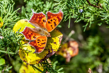 Question Mark Butterfly (Polygonia Interrogationis) In Its Winter Form Sitting On A Leaf With His Wings Open