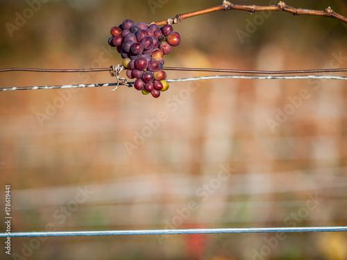 Zdjęcie XXL Późne zbiory winogron
