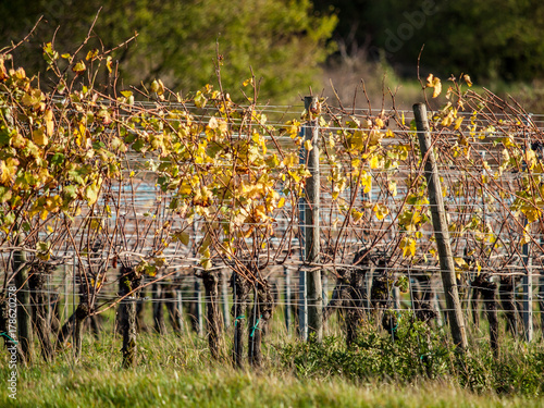 Zdjęcie XXL Liście wina na winorośli