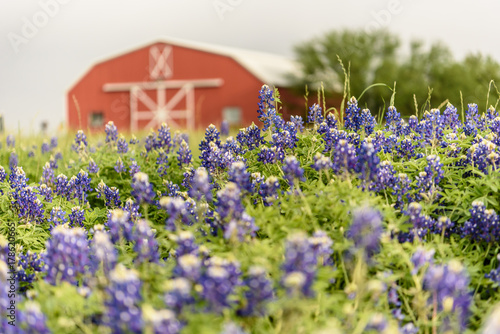 Photo bluebonnet field