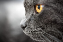 Closeup Gray Cat With Amber Ey...