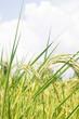 rice field on Sky Blue