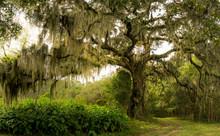The Massive Live Oak Tree Drap...