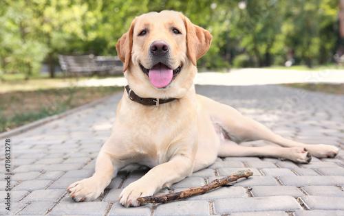 Foto  Cute Labrador Retriever with wooden stick lying on sidewalk in park