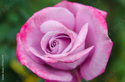 Fototapeta rose in autumn garden obraz na płótnie