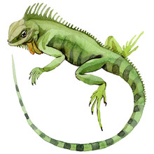 Exotic Iguana In A Watercolor Style Isolated. Full Name Of The Reptilian: Iguana. Aquarelle Exotic Reptilian For Background, Texture, Wrapper Pattern Or Tattoo.