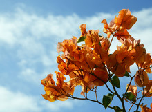 Blooming Bougainvillea On A Bl...