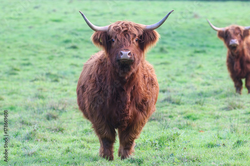 Papiers peints Vache de Montagne Highland Cattle