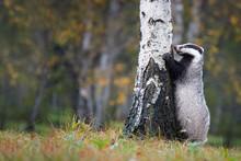 European Badger, Meles Meles, ...