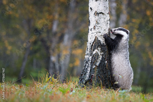 Valokuva European badger, Meles meles, low angle photo of big male in rainy day, on the back legs, leaning against the birch and looking for the larvae in the bark