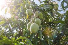 Tropical Fruits - Raw Mangoes ...